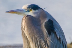 MG_9588-Great-Blue-Heron