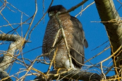 MG_9999-Coopers-Hawk