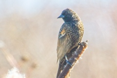 Layer-0-Red-Winged-Blackbird-female-first-summer