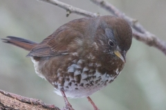 MG_0240-Sooty-Fox-Sparrow-Copy-Copy