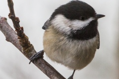 MG_0304-Black-Capped-Chickadee