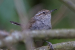 MG_0381-Bewicks-Wren