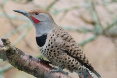 MG_0423-Norther-Red-Shafted-Flicker-male