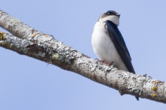 MG_0449-Tree-Swallow-female