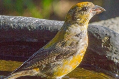 MG_0714-Red-Crossbill
