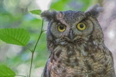 MG_0740-Great-Horned-Owl
