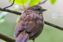 MG_0816-Song-Sparrow