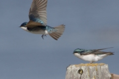 MG_0998-Tree-Swallow-Copy