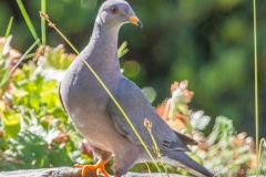 MG_1014-2-Band-tailed-Pigeon