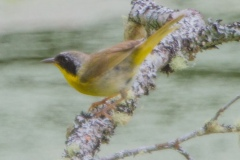 MG_1172-Common-Yellowthroat