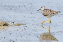 MG_1354-Greater-Yellowlegs