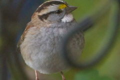 MG_1415-White-Throated-Sparrow