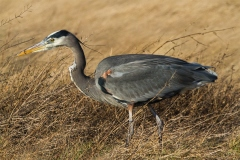 MG_1571-Great-Blue-Heron