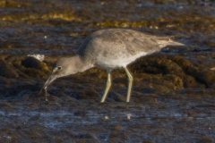 MG_1624-2-Willet