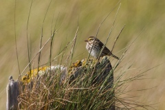 MG_1660-Savannah-Sparrow