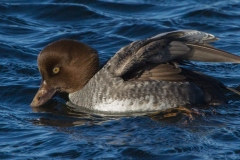MG_1666-Common-Goldeneye-female