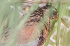MG_1759-Virginia-Rail