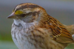 MG_1839-White-Throated-Sparrow