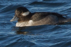MG_1919-Bufflehead-female-Copy