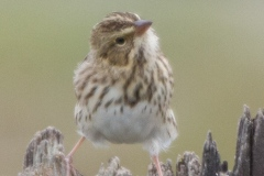 MG_1936-Savannah-Sparrow