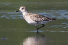 MG_2077-Black-Bellied-Plover