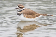 MG_2299-Killdeer