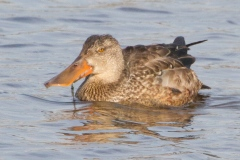 MG_2365-Northern-Shoveler-female