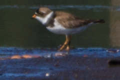 MG_2365-Semipalmated-Plover-Copy