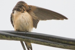 MG_2449-Barn-Swallow
