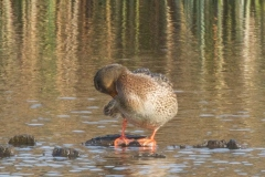 MG_2461-Mallard-female