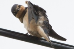 MG_2614-Barn-Swallow