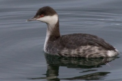 MG_2659-Horned-Grebe-non-breeding