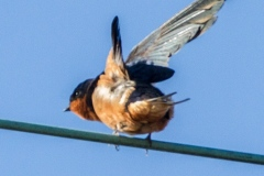 MG_2680-Barn-Swallow