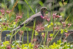 MG_2777-Mourning-Dove