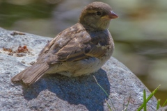 MG_2974-Juvenile-House-Sparrow