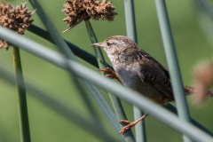 MG_3099-Marsh-Wren