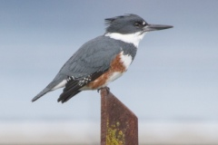 MG_3137-Belted-Kingfisher-female