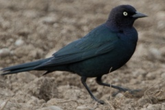 MG_3151-Brewers-Blackbird-male