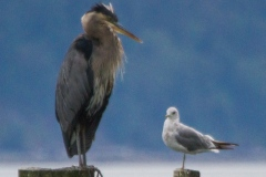 MG_3160-Great-Blue-Heron-and-Mew-Gull
