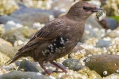 MG_3183-Starling-juvenile