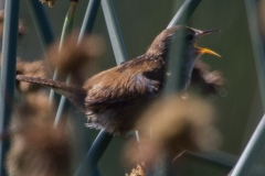 MG_3229-Marsh-Wren