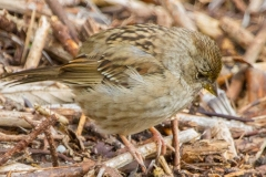 MG_3278-Golden-Crowned-Sparrow-juvenile-Copy-Copy-Copy-Copy-Copy