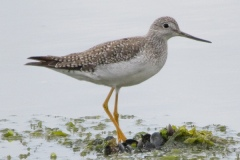 MG_3621-Greater-Yellowlegs