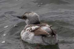 MG_3833-Pigeon-Guillemot-non-breeding