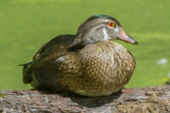 MG_3861-wood-duck-eclipsing-male
