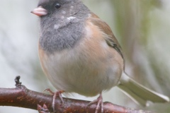 MG_3913-Dark-Eyed-Junco-Pink-Sided