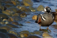 MG_3936-Harlequin-Duck