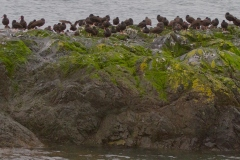 MG_3944-Black-Oyster-Catchers