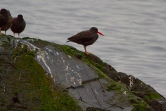 MG_3961-Black-Oyster-Catchers