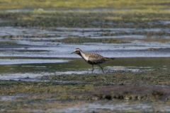 MG_4019-Pacific-Golden-Plover